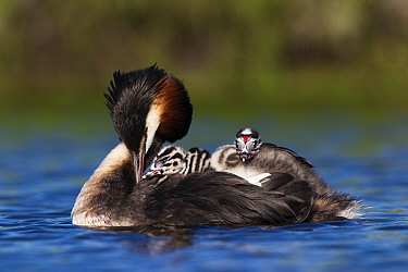 Great Crested Grebe (Podiceps cristatus) preening on the water with chicks on its back, Vlaardingen, Zuid-Holland, Netherlands  -  Jasper Doest