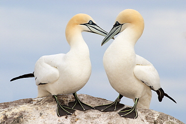 Northern Gannet (Morus bassanus) pair allopreening each other, Saltee Islands, Ireland  -  Jasper Doest