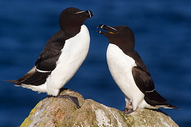 Razorbill (Alca torda) pair on a rock, Saltee Islands, Ireland  -  Jasper Doest