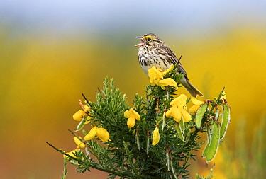 Savannah Sparrow (Passerculus sandwichensis) singing on broom, Vancouver, Canada  -  Jasper Doest