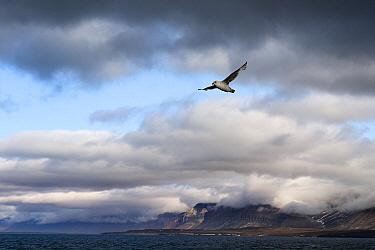 Northern Fulmar (Fulmarus glacialis) flying, Isfjorden, Svalbard, Arctic Ocean, Norway  -  Jasper Doest