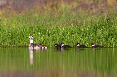 Long-tailed Duck (Clangula hyemalis) female on the water with ducklings, Svalbard, Norway  -  Jasper Doest