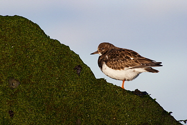 Ruddy Turnstone (Arenaria interpres) on a rock, Hoek van Holland, Zuid-Holland, Netherlands  -  Jasper Doest