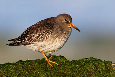 Purple Sandpiper (Calidris maritima) on a rock, Hoek van Holland, Zuid-Holland, Netherlands  -  Jasper Doest