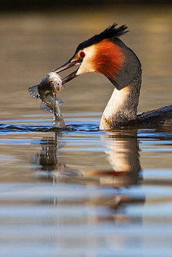 Great Crested Grebe (Podiceps cristatus) with fish prey, Vlaardingen, Zuid-Holland, Netherlands  -  Jasper Doest