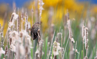 Red-winged Blackbird (Agelaius phoeniceus) female on Common Cattail (Typha latifolia) with insect prey, Vancouver, Canada  -  Jasper Doest