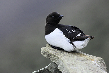 Little Auk (Alle alle) perched on a rock, Svalbard, Norway  -  Jasper Doest