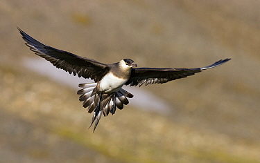 Arctic Skua (Stercorarius parasiticus) flying, Svalbard, Norway  -  Jasper Doest