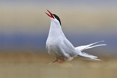 Arctic Tern (Sterna paradisaea) calling, Svalbard, Norway  -  Jasper Doest
