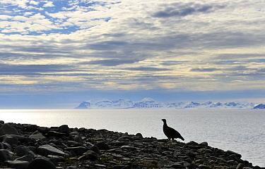 Rock Ptarmigan (Lagopus muta) in arctic landscape, Isfjorden, Svalbard, Norway  -  Jasper Doest