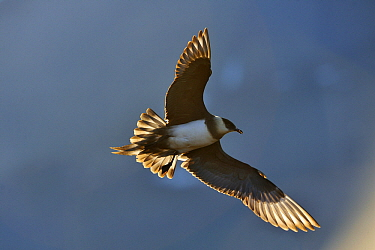 Arctic Skua (Stercorarius parasiticus) flying, Svalbard, Arctic Ocean, Norway  -  Jasper Doest