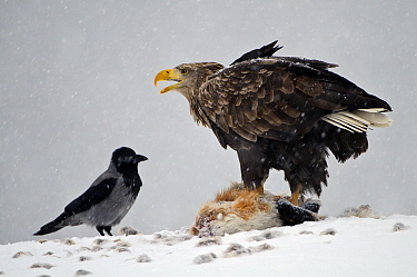 White-tailed Eagle (Haliaeetus albicilla) on top of dead Red Fox (Vulpes vulpes) with Hooded Crow (Corvus cornix) in snowstorm, Lauvsnes, Norway  -  Willi Rolfes/ NIS