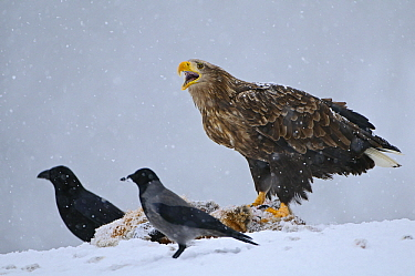 White-tailed Eagle (Haliaeetus albicilla) calling while standing on Red Fox (Vulpes vulpes) with Common Ravens (Corvus corax) and Hooded Crow (Corvus cornix) in snowstorm, Lauvsnes, Norway  -  Willi Rolfes/ NIS