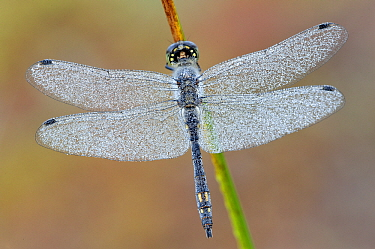 Black Darter (Sympetrum danae) dragonfly male covered with dew, Antwerp, Flanders, Belgium  -  Danny Laps/ NiS