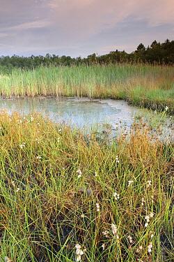 Fen with reed and Cottongrass (Eriophorum angustifolium), Campine, Antwerp, Flanders, Belgium  -  Danny Laps/ NiS