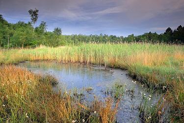 Cottongrass (Eriophorum angustifolium) and reeds in fen, Den Diel, Campine, Antwerp, Flanders, Belgium  -  Danny Laps/ NiS