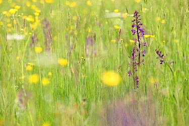 Orchid (Anacamptis palustris) flowering in meadow, La Brenne, Indre, France  -  Danny Laps/ NiS