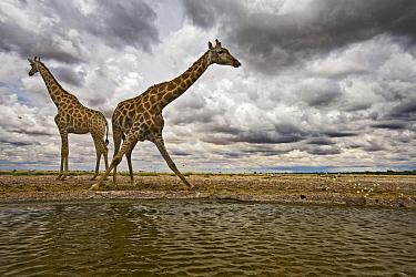 Southern Giraffe (Giraffa giraffa) pair at waterhole in Kalahari, Khutse Game Reserve, Botswana  -  Vincent Grafhorst