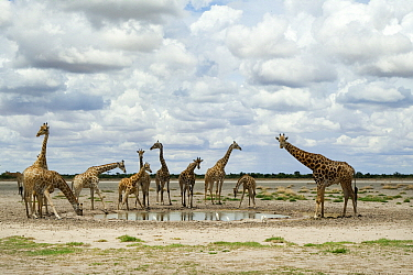 Southern Giraffe (Giraffa giraffa) herd at waterhole in Kalahari, Khutse Game Reserve, Botswana  -  Vincent Grafhorst
