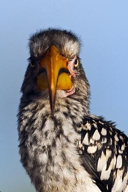Southern Yellow-billed Hornbill (Tockus leucomelas), Khutse Game Reserve, Botswana  -  Vincent Grafhorst