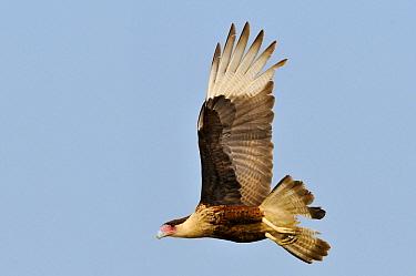 Crested Caracara (Caracara plancus) flying, Hebbronville, Texas  -  Jasper Doest