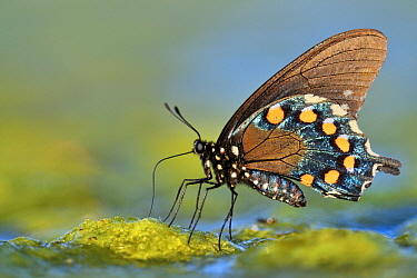 Pipe-vine Swallowtail (Battus philenor) butterfly drinking, Hebbronville, Texas  -  Jasper Doest