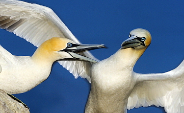 Northern Gannet (Morus bassanus) pair fighting, Saltee Island, Ireland  -  Jasper Doest
