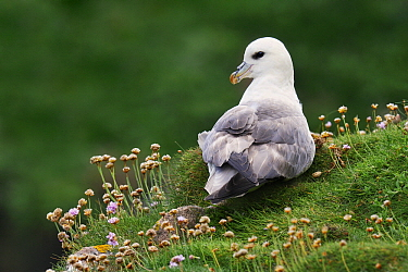 Northern Fulmar (Fulmarus glacialis) on nest, Saltee Island, Ireland  -  Jasper Doest