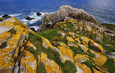 Northern Gannet (Morus bassanus) colony, Saltee Island, Ireland  -  Jasper Doest