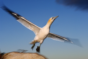 Northern Gannet (Morus bassanus) taking off, Saltee Island, Ireland  -  Jasper Doest