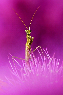 Praying Mantis (Mantis sp)on Texas Thistle (Cirsium texanum), Hebbronville, Texas  -  Jasper Doest