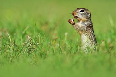 Mexican Ground Squirrel (Spermophilus mexicanus) feeding on mushroom, Hebbronville, Texas  -  Jasper Doest