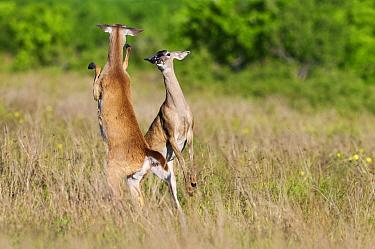 White-tailed Deer (Odocoileus virginianus) pair fighting, Hebbronville, Texas  -  Jasper Doest
