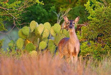 White-tailed Deer (Odocoileus virginianus), Hebbronville, Texas  -  Jasper Doest