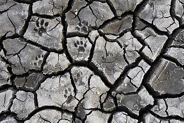 Bobcat (lynx rufus) tracks in cracked mud, Hebbronville, Texas  -  Jasper Doest