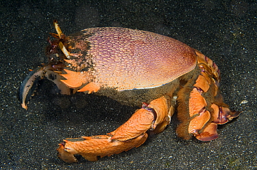 Spanner Crab (Ranina ranina), Lembeh, Sulawesi, Indonesia  -  Dray van Beeck/ NiS