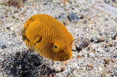 Starry Pufferfish (Arothron stellatus) juvenile, Lembeh, Sulawesi, Indonesia  -  Dray van Beeck/ NiS