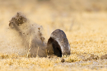 Honey Badger (Mellivora capensis) digging for prey, Deception Valley, Central Kalahari Game Reserve, Botswana  -  Vincent Grafhorst