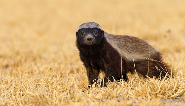 Honey Badger (Mellivora capensis), Deception Valley, Central Kalahari Game Reserve, Botswana  -  Vincent Grafhorst
