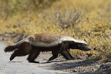 Honey Badger (Mellivora capensis) crossing a track, Deception Valley, Central Kalahari Game Reserve, Botswana  -  Vincent Grafhorst