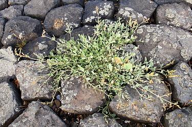 Sea Purslane (Atriplex portulacoides) growing between rocks, Schiermonnikoog, Friesland, Netherlands  -  Marcel van Kammen/ NiS