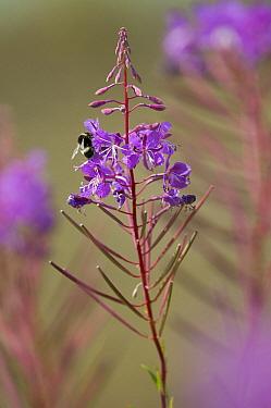 Fireweed (Chamerion angustifolium) flowering, Schiermonnikoog, Friesland, Netherlands  -  Marcel van Kammen/ NiS
