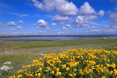 Common Birdsfoot Trefoil (Lotus corniculatus) flowering on coast, Schiermonnikoog, Friesland, Netherlands  -  Marcel van Kammen/ NiS