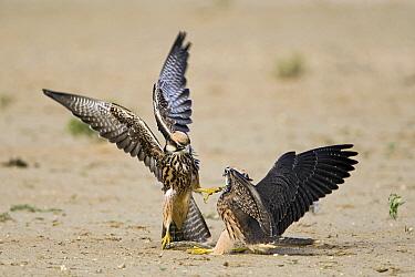 Lanner Falcon (Falco biarmicus) juveniles fighting, Nossob River, Kgalagadi Transfrontier Park, Botswana  -  Vincent Grafhorst