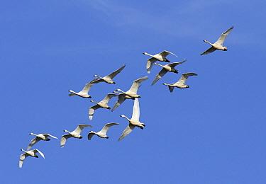 Bewick's Swan (Cygnus columbianus bewickii) group flying, Netherlands  -  Steven Ruiter/ NIS