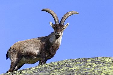 Pyrenean Ibex (Capra pyrenaica) male, Sierra de Gredos, Spain  -  Steven Ruiter/ NIS