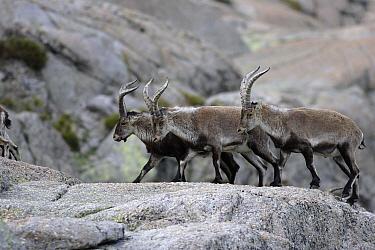Pyrenean Ibex (Capra pyrenaica) herd walking over rocks, Sierra de Gredos, Spain  -  Steven Ruiter/ NIS