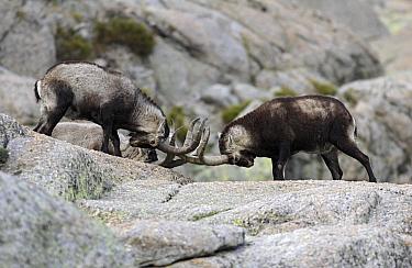 Pyrenean Ibex (Capra pyrenaica) fighting, Sierra de Gredos, Spain  -  Steven Ruiter/ NIS