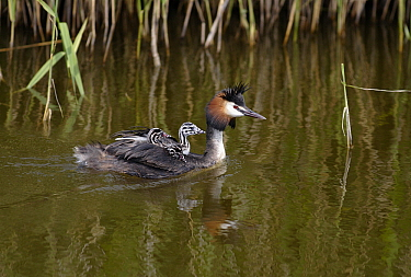 Great Crested Grebe (Podiceps cristatus) swimming with chick on its back, Netherlands  -  Steven Ruiter/ NIS
