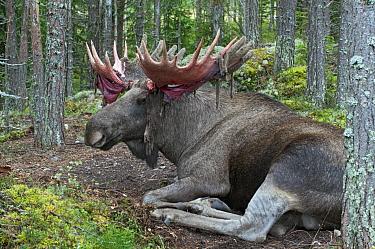 European Elk (Alces alces alces) male with bloody antlers after shedding velvet, Sweden  -  Michiel Schaap/ Buiten-beeld